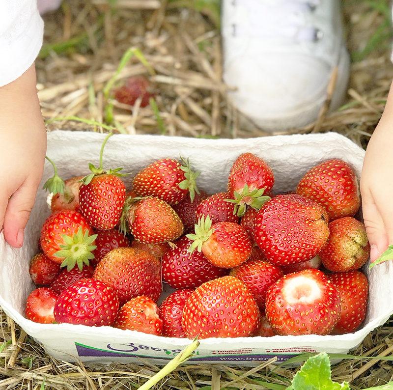 Erdbeeren pflücken – eine alljährliche Tradtion {2018}