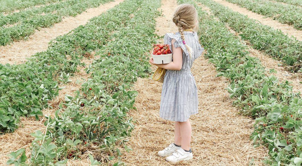 Erdbeeren pflücken – eine alljährliche Tradtion {2019}